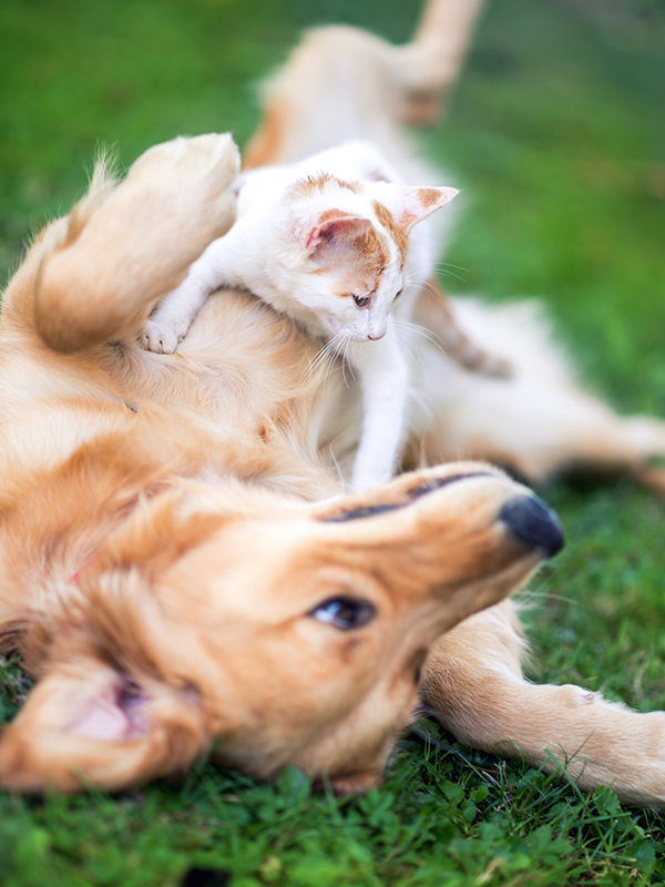 golden-retreiver-and-kitten-in-grass