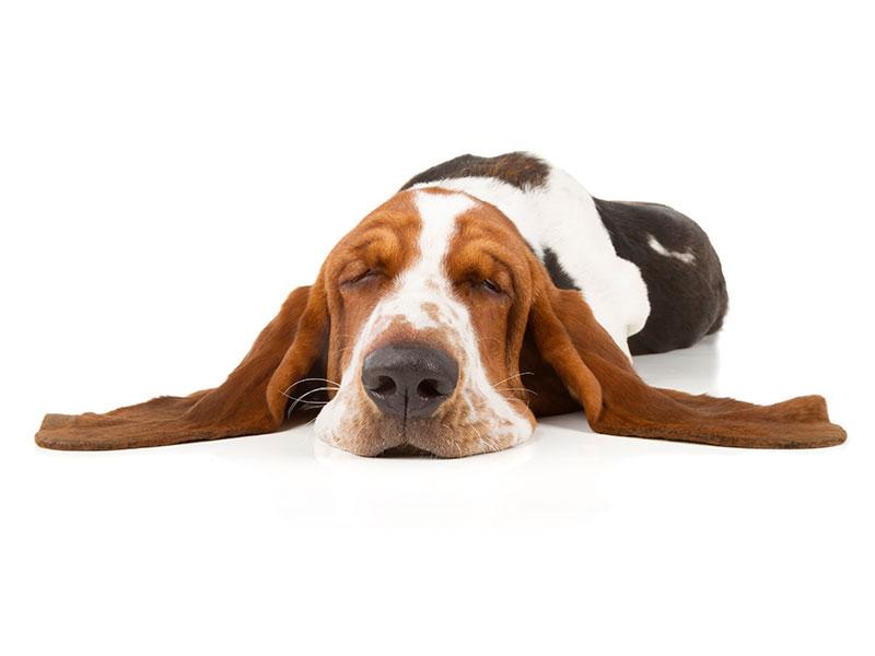 basset-hound-animal-medical-center-of-austin-1