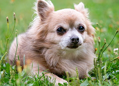chihuahua-in-grass-animal-medical-center-of-austin