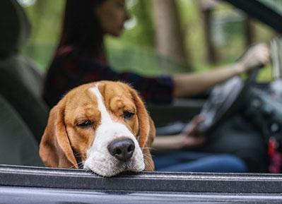 sick-dog-in-car-animal-medical-center-of-austin