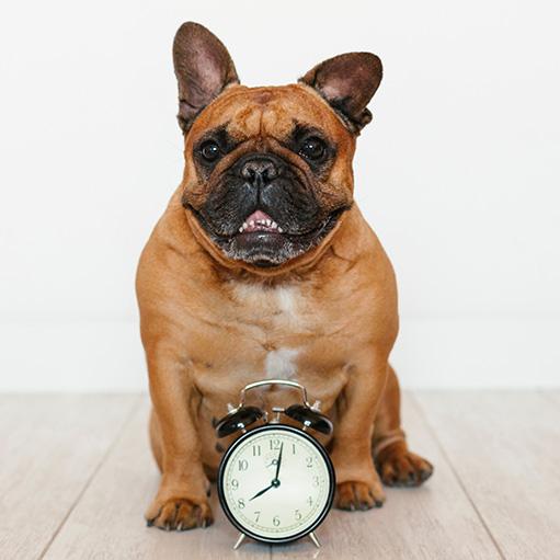 bulldog with clock